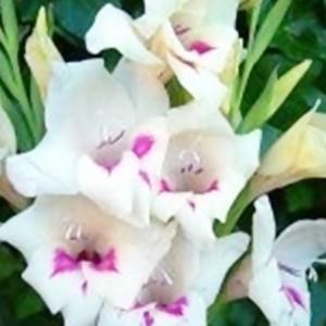 carine gladiolus