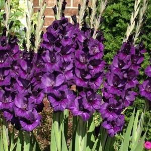 flora gladiolus