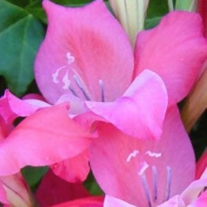 gladiolus 'charming beauty'