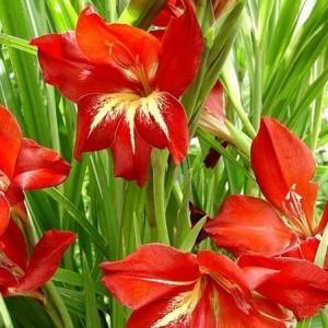 gladiolus claudia