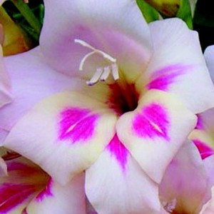 gladiolus 'elvira