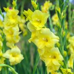 Top-15-Most-Beautiful-Gladiolus-Flowers