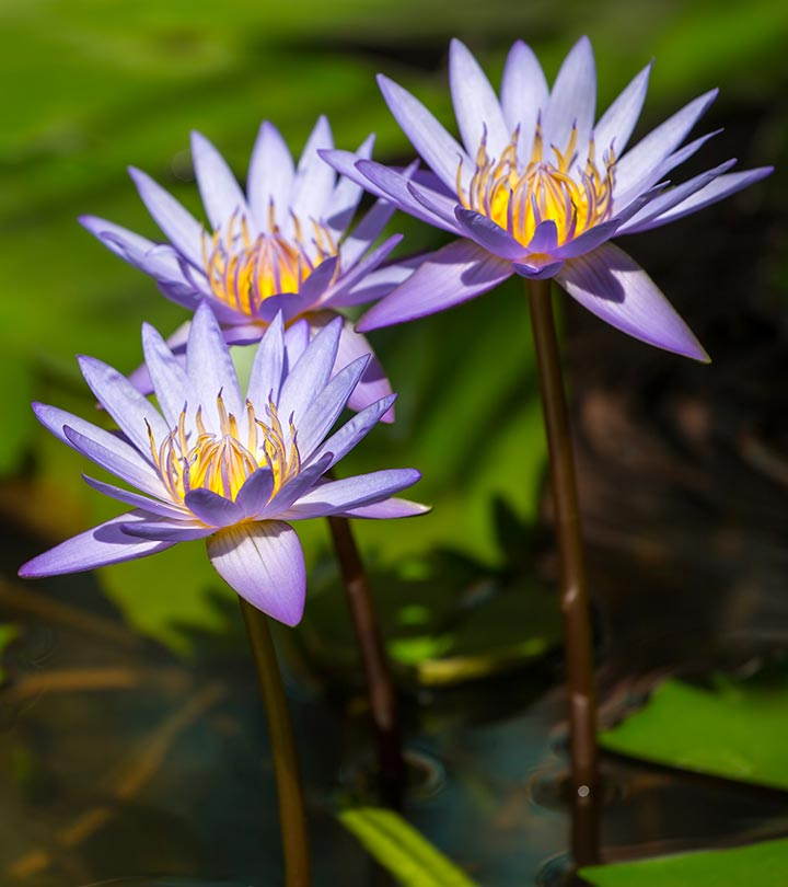 12 Amazing Benefits Of Nymphaea Caerulea For Skin, Hair And Health
