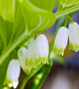 12 Amazing Benefits Of Solomon's Seal For Skin, Hair And Health