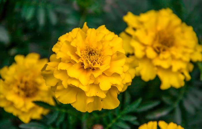 13.-Marigold-Flowers,-Witch-Hazel-Leaves,-And-Water