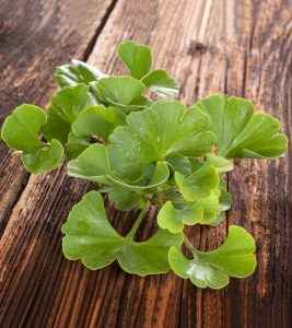 Ginkgo Biloba: 14 Impressive Health Benefits, Dosage, And Side effects