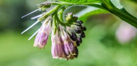 22-Amazing-Benefits-Of-Comfrey-For-Skin,-Hair,-And-Health