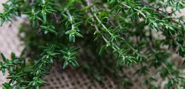58 Amazing Benefits And Uses Of Thyme (Ajwain ke Phool) For Skin, Hair And Health