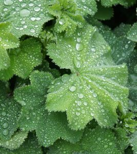 10 Amazing Benefits Of Lady's Mantle For Skin, Hair And Health