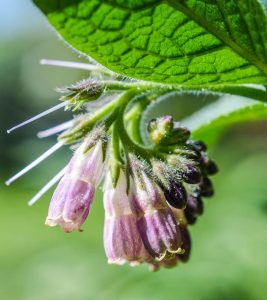 22 Amazing Benefits Of Comfrey For Skin, Hair, And Health