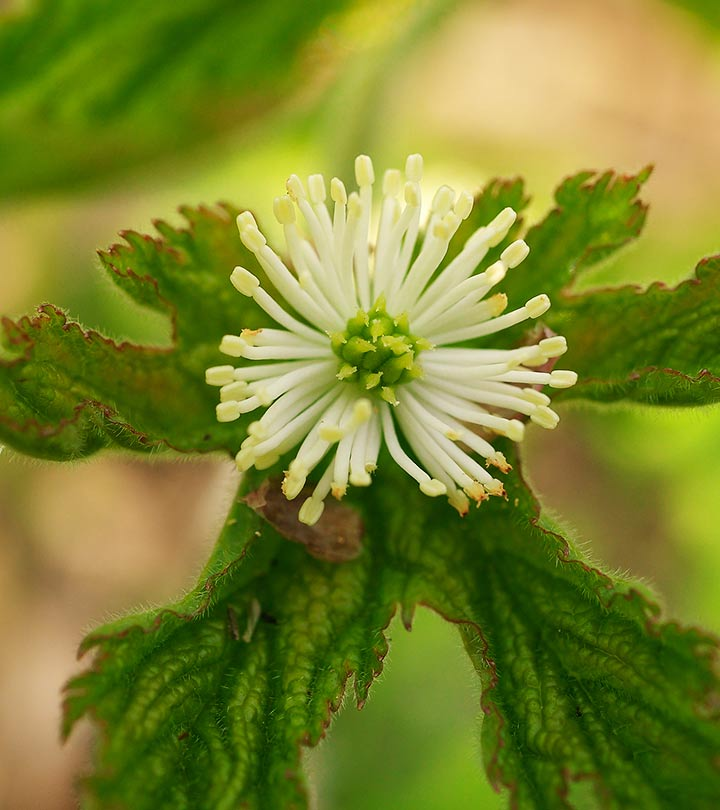 12 Amazing Benefits Of Goldenseal For Skin, Hair And Health