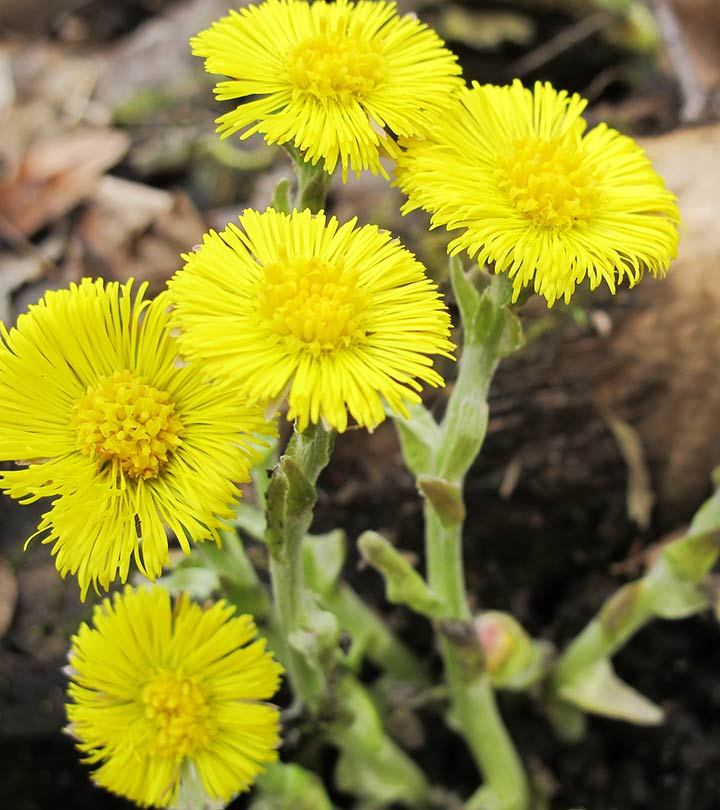 7 Amazing Benefits Of Coltsfoot For Skin, Hair And Health