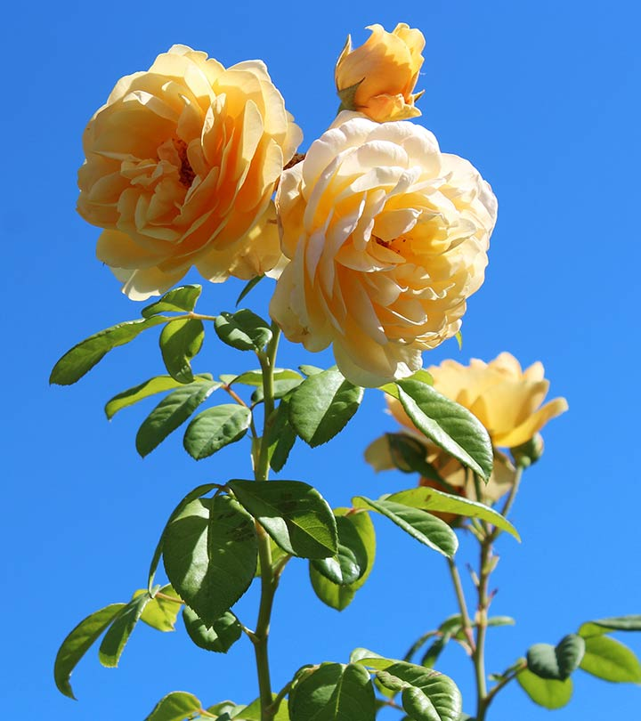 Top 15 Most Beautiful Rose Flowers