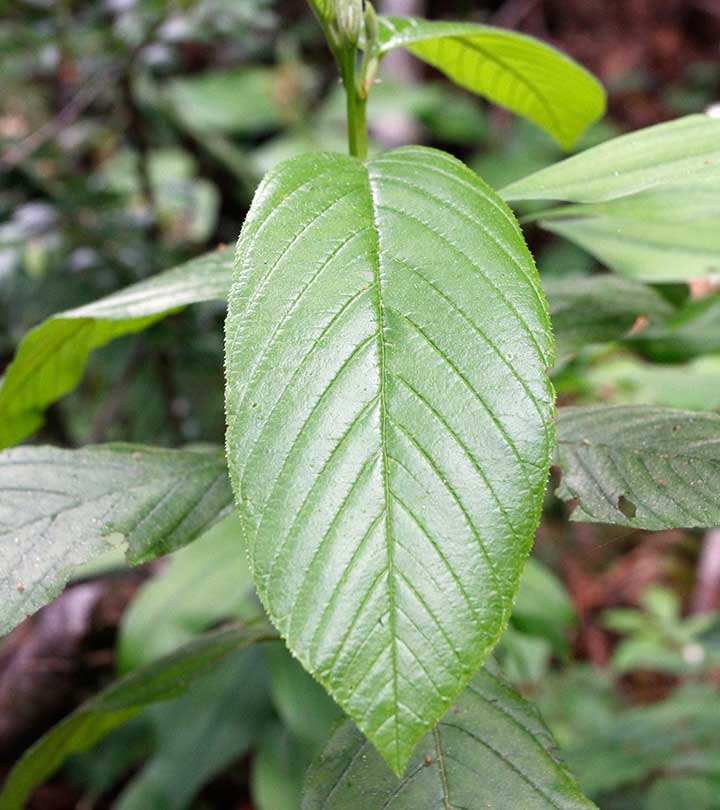 Cascara Sagrada: Its Most Important Benefit Will Surprise You