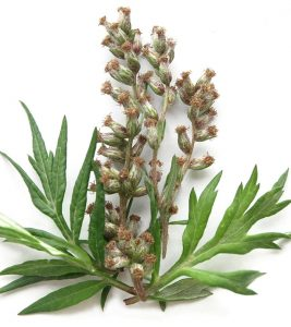 13 Amazing Benefits Of Mugwort For Skin, Hair, And Health