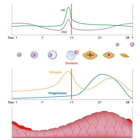reduced levels of progesterone