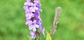 1235_11-Amazing-Health-Benefits-Of-Vervain_450083503.jpg_1