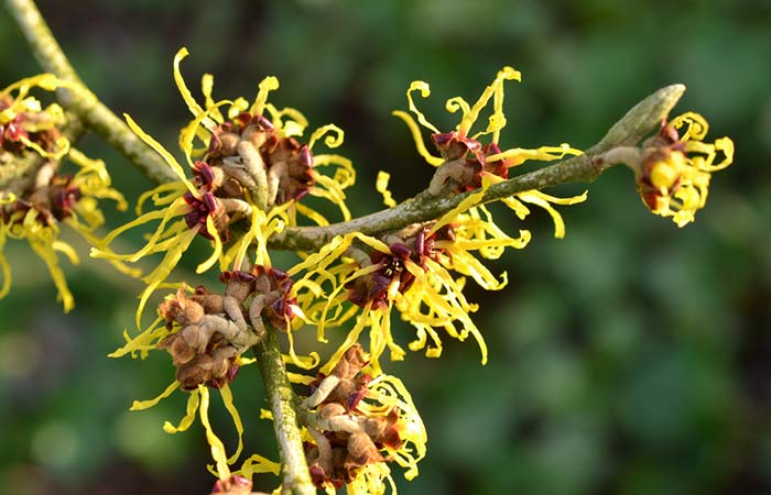 6. Witch Hazel For Blood Blisters