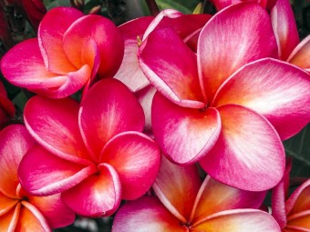 6935-beautiful-plumeria-flowers