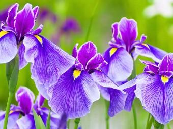 6938-most-beautiful-iris-flowers
