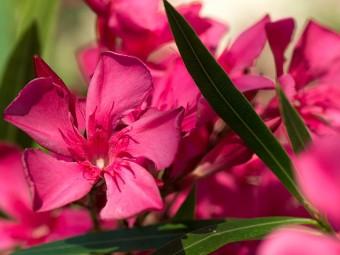 6939-beautiful-oleander-flowers