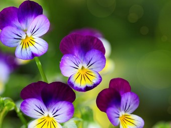 6940-most-beautiful-pansy-flowers