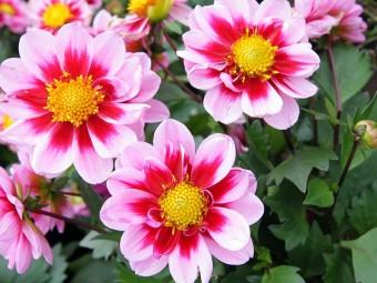 6941-most-beautiful-dahlia-flowers