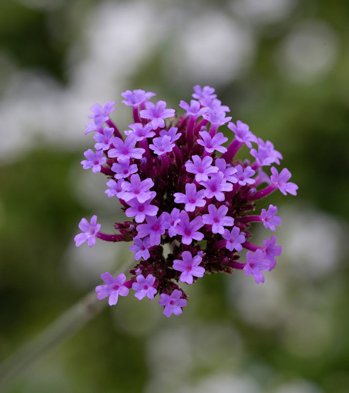 Vervain 9 Benefits Of This Mythical Herb + How To Make The Tea
