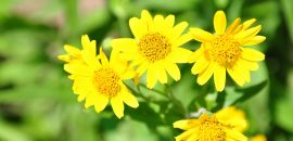 10-Serious-Side-Effects-Of-Arnica1