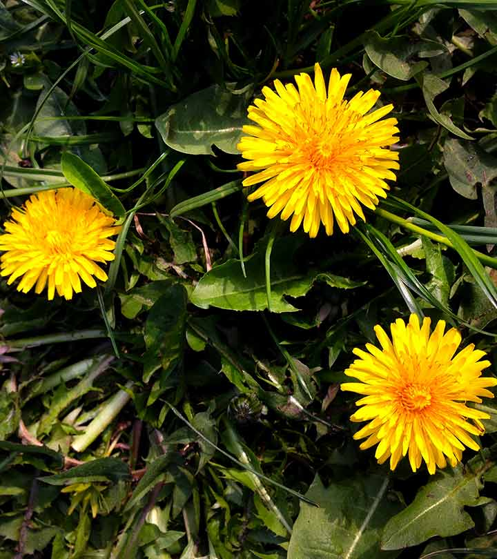 Dandelions: Potential Benefits, Dosage, And Side Effects