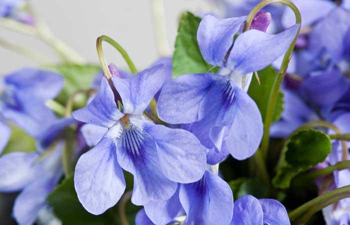 15. Wood Violets