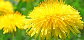 28 Amazing Benefits Of Dandelion (Dudal) For Skin, Hair, And Health