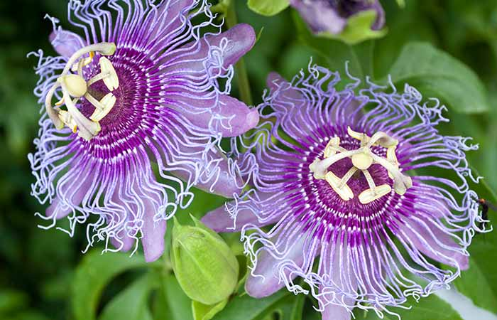 23. Passionflower