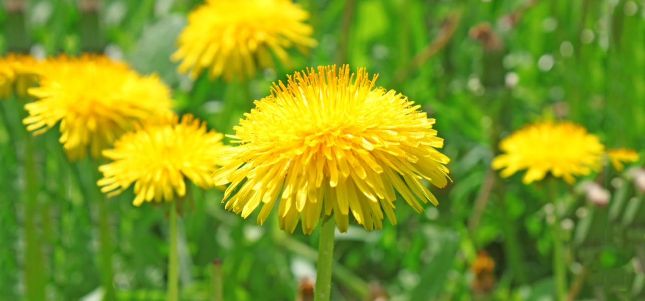 28-Amazing-Benefits-Of-Dandelion-(Dudal)-For-Skin,-Hair,-And-Health