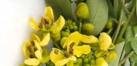 13 Amazing Benefits And Uses Of Senna Plant