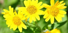 849__17 Amazing Benefits Of Arnica For Skin, Hair, And HealthiStock-178378781.