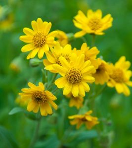 Arnica: The Answer To Your Aching Joints! Benefits, Mechanisms, And Side Effects