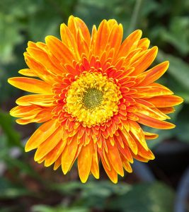 18 Amazing Benefits Of Calendula Herb For Skin, Hair And Health
