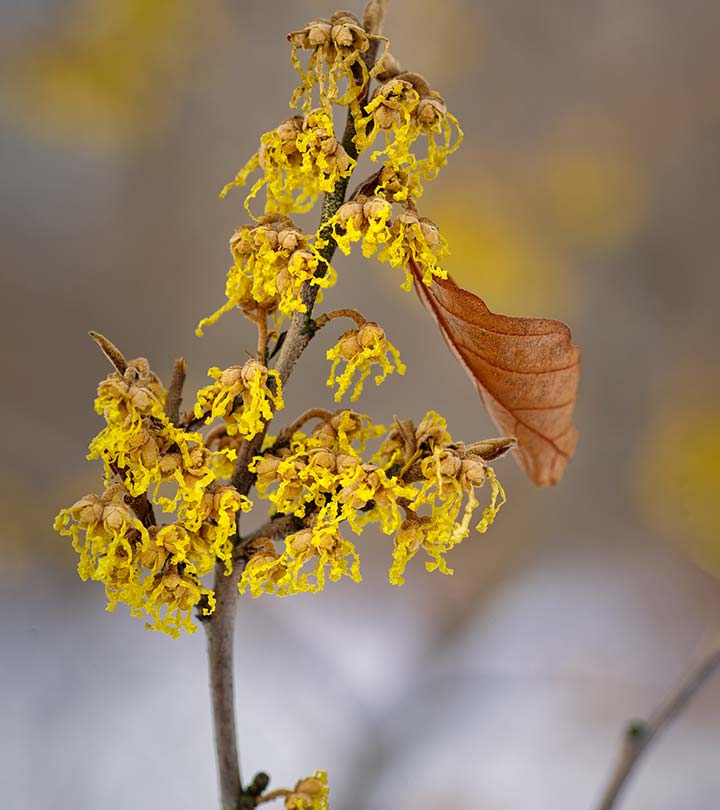 24 Amazing Benefits Of Witch Hazel
