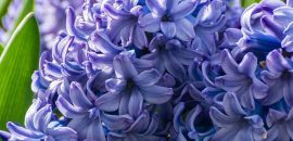 11 Amazing Benefits Of Hyacinth Herb For Skin, Hair And Health