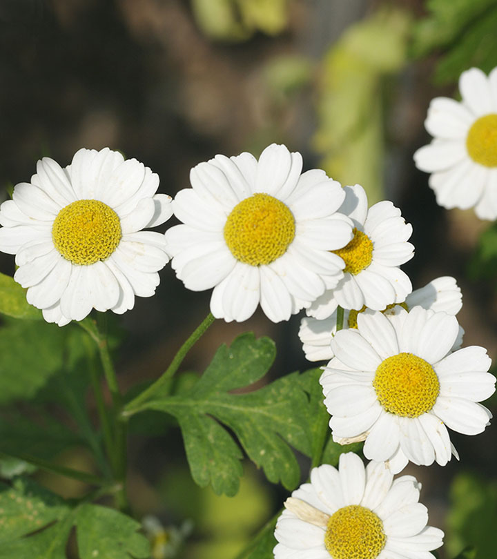 3672-6-Amazing-Benefits-Of-Feverfew-For-Skin,-Hair-And-Health-ss