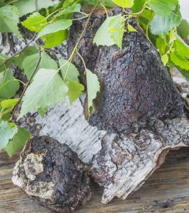 Chaga 101: Facts And Benefits About Chaga Mushrooms You Must Know