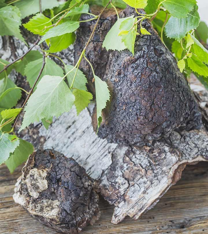 Chaga 101 Facts And Benefits About Chaga Mushrooms You Must Know