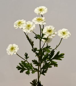 Feverfew: The Top 8 Benefits + Side Effects