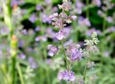 19-Wonderful-Benefits-Of-Catnip-For-Skin,-Hair,-And-Health
