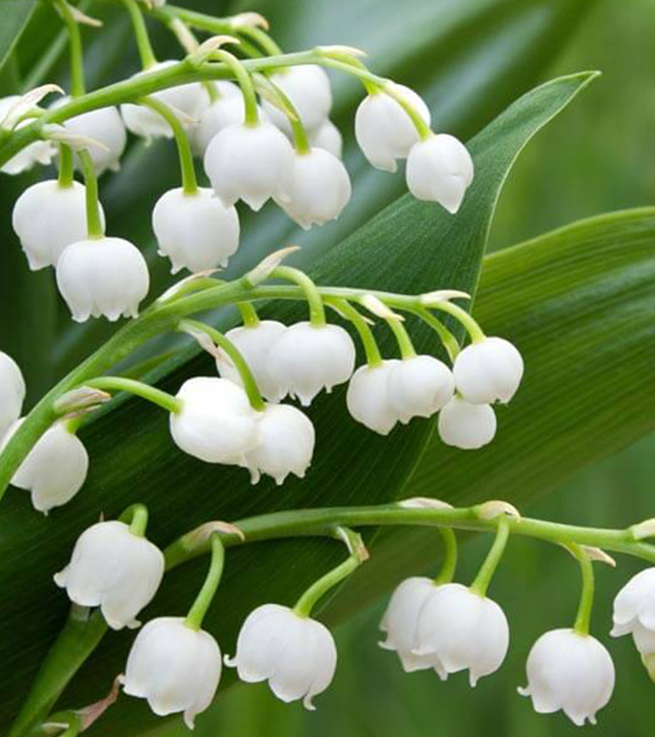 10 Amazing Health Benefits Of Lily Of The Valley