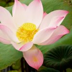 23-Amazing-Benefits-Of-Lotus-(Nelumbo-Nucifera)-For-Skin,-Hair,-And-Health