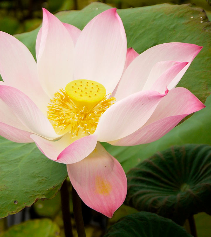 23 Amazing Benefits Of Lotus (Nelumbo Nucifera) For Skin, Hair, And Health