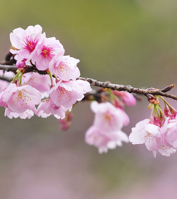Top 15 Most Beautiful Cherry Blossom Flowers