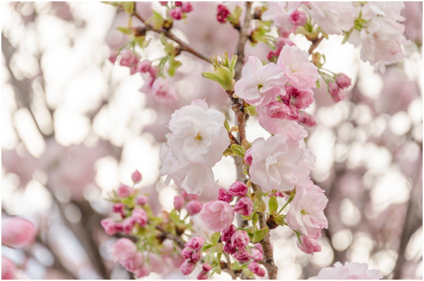 Top 15 most beautiful cherry blossom flowers fugenzo pinit mightylinksfo